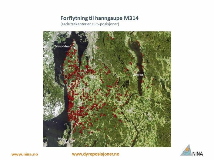 M314 lever sitt liv i kulturlandskapet i Follo. (Foto: www.dyreposisjoner.no)