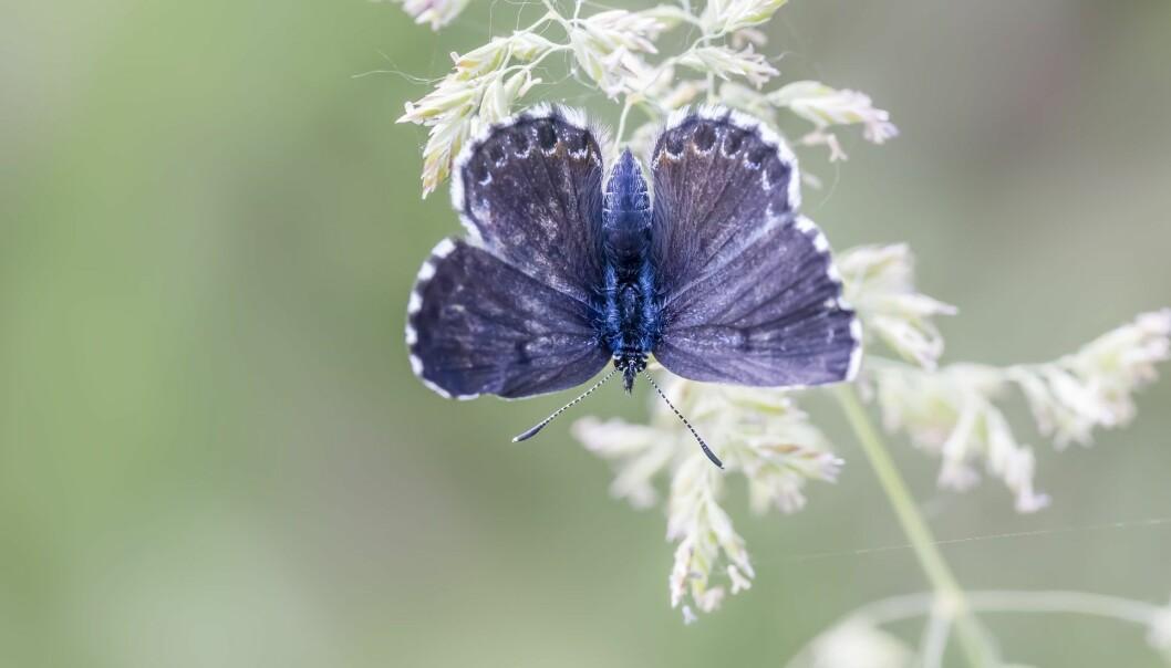 Klippeblåvinge-hannen er blå på oversiden. (Foto: Tiberiu Sahlean / Shutterstock / NTB scanpix)