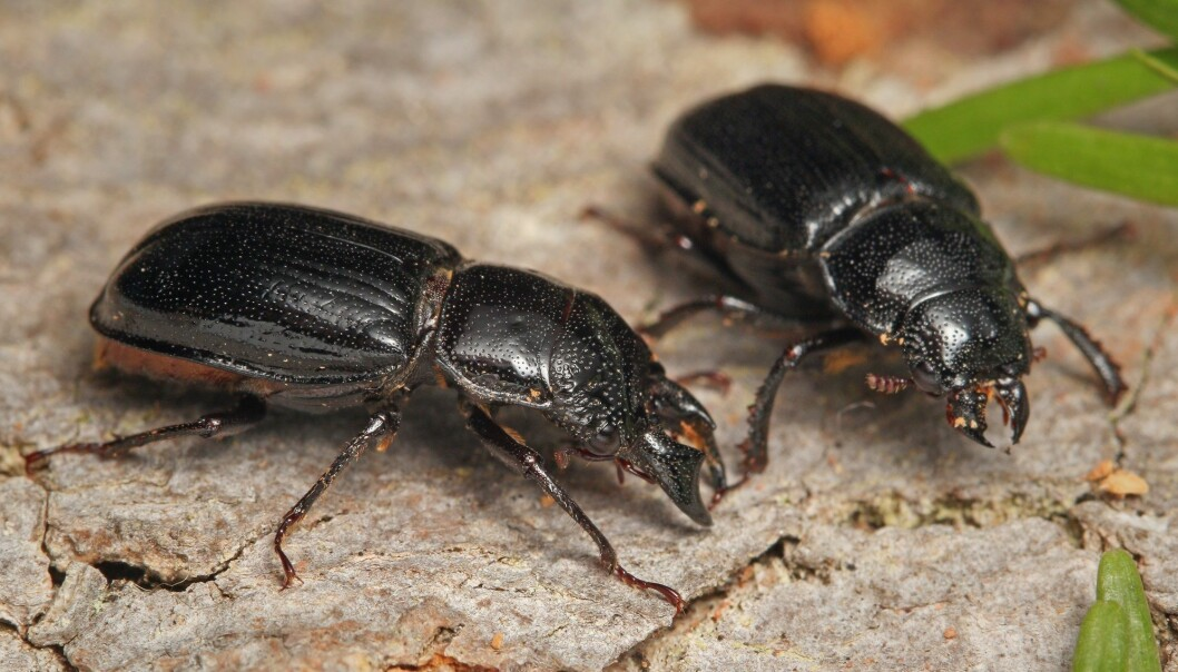 Svarthjort-billene bor i skog med mye døde trær. (Foto: Jiri Prochazka / Shutterstock / NTB scanpix)