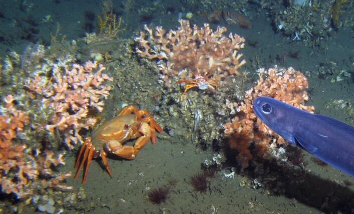 En maritkrabbe (Chaceon maritae) dypt på havets bunn utenfor Vest-Afrika. (Foto: T. Lundälv, Sven Lovén Centre, Göteborgs universitet. Med tillatelse fra Andre Freiwald, Senckenberg am Meer.