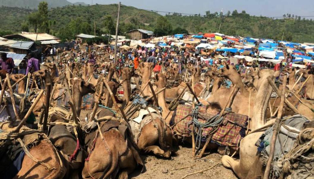 Markedet i Bati er et av de største og mest berømte i Etiopia. En av attraksjonene er det store tilbudet av urtemedisiner og andre medisinplanteprodukter. (Foto: Selamawit Seid Nega)