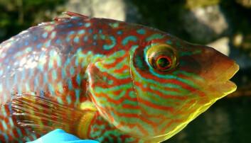 Leppefiskene brukes som lusespisere i oppdrettsnæringen. Et likestillingsløft i forvaltningen av disse artene vil være bra for fisken.  (Foto: Tonje Sørdalen)