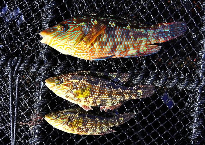 Det kan være stor forskjell på størrelsen til leppefisk-hannene. (Foto: Tonje Sørdalen)