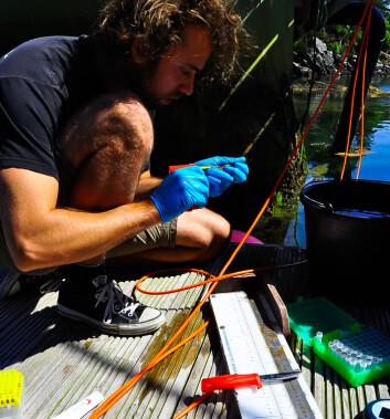 Kim Halvorsen tar prøver av leppefisk til avhandlingen sin. (Foto: Tonje Sørdalen)
