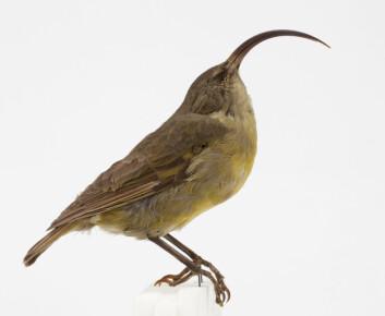 Akialoa-finken (Akialoa obscura),  hørte hjemme på Hawaii til den døde ut i år 1940. Den er en av de mange øyboende fugleartene som har dødd ut i løpet av de siste fem hundre årene. (Foto: Karsten Sund / Naturhistorisk museum)