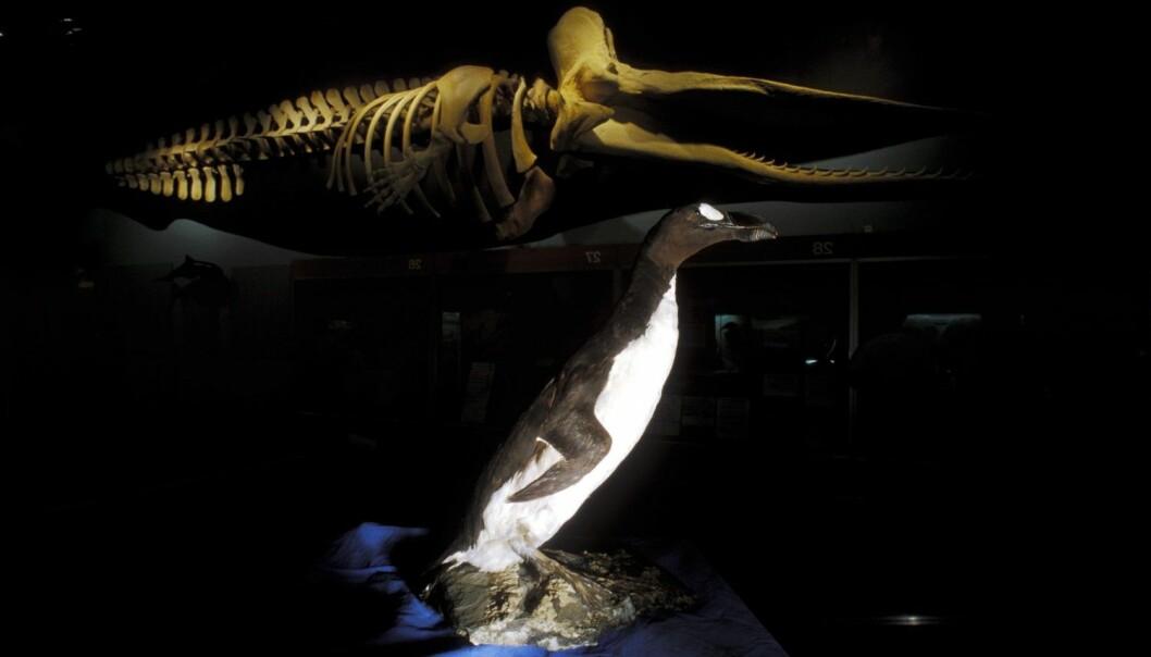 Av de 161 fugleartene som har dødd ut de siste 500 årene, var det bare geirfuglen som kunne bli sett i Norge.  (Foto: Jørn B. Olsen / Rolf Sørensen / Samfoto / NTB scanpix)