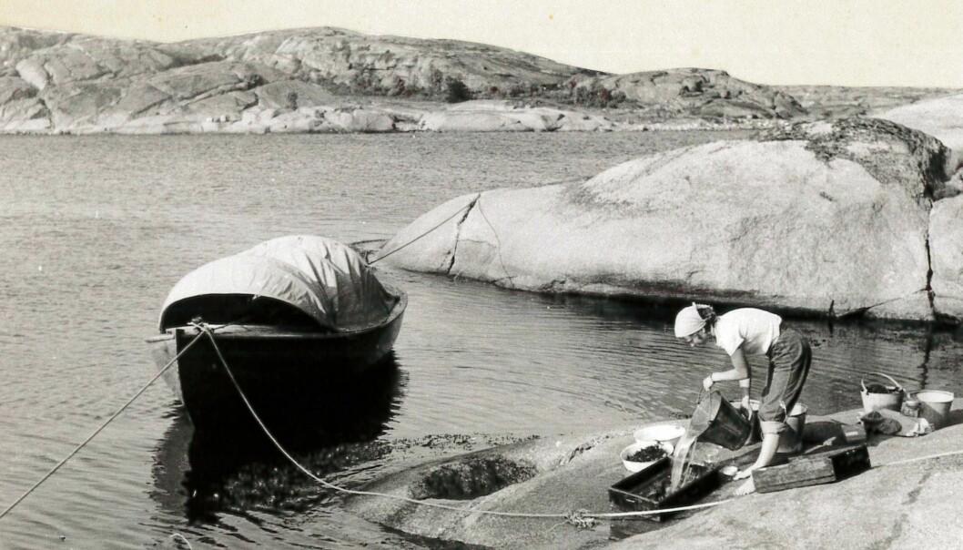 Marit E. Christiansen undersøker bunndyrfangsten ved Hvasser i Vestfold sommeren 1953. (Foto: Bengt Christiansen)