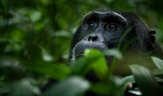 Om småprating og sjimpanser