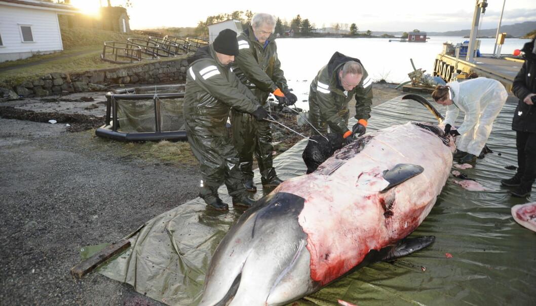 Gåsenebbhvalen som måtte avlives på Vindenes på Sotra i Hordaland, sultet ihjel. Tarmsystemet var fullstendig tømt for næring, men fullt av plast. (Foto: Christoph Noever / UiB / NTB scanpix)