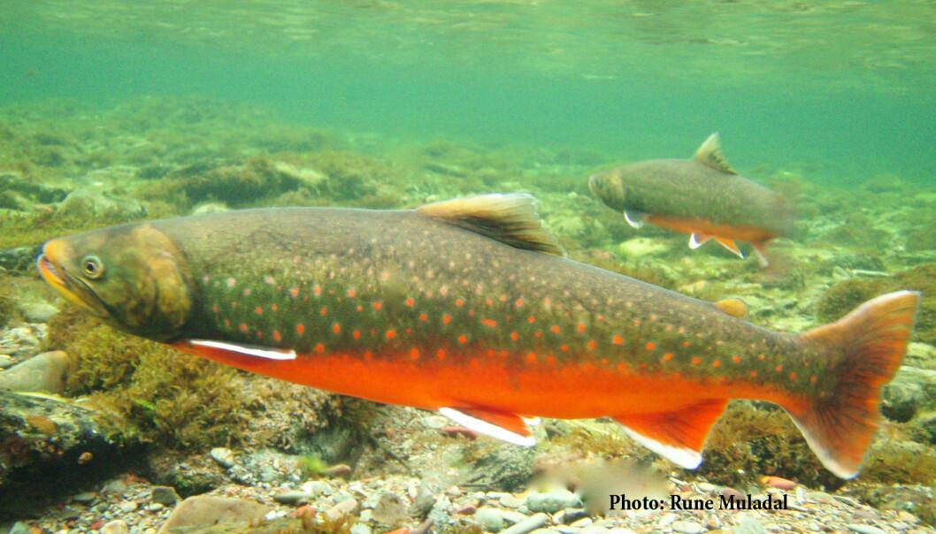 Røye (Salvelinus alpinus) er verdens nordligste ferskvannsfisk, og er tilpasset kaldt vann. Røye kan derfor være truet av et varmere klima, spesielt i artens sydlige utbredelsesområder. (Foto: Rune Muladal / Naturtjenester i Nord)