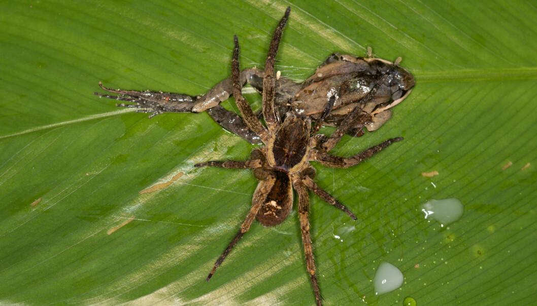 Digert måltid: Denne vandre-edderkoppen hiver innpå en frosk. (Foto: Pascal Title, Amphibian & Reptile Conservation)