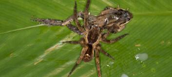 Se edderkopper som spiser frosk, pungrotte og øgle