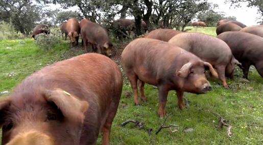 Hvorfor er spansk spekeskinke så svinedyr?