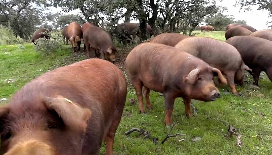 Den svarte iberiske grisen spiser eikenøtter og urter før den blir til verdenskjent spekeskinke. (Bilde fra video: Jan Ketil Simonsen )