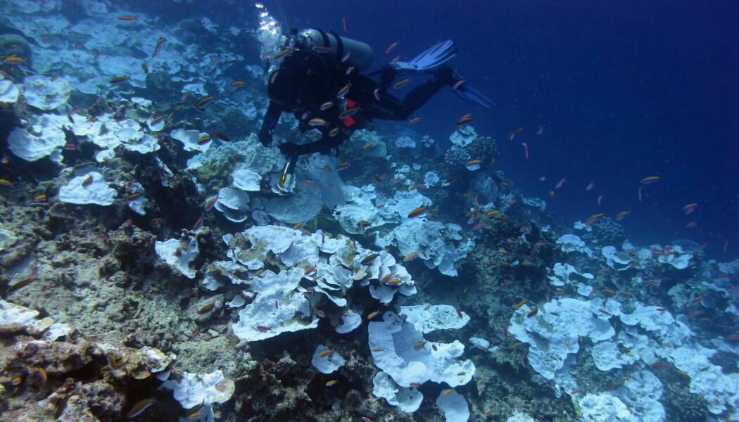 Kraftig korallbleking ved Jarvis Island i Stillehavet i 2016. (Bilde: NOAA/Bernardo Vargas-Angel via AP/NTB Scanpix)