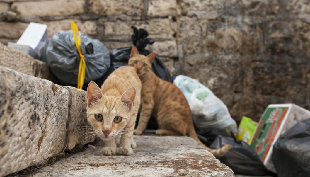 Ikke alle katter trives sammen med mennesker og vil heller leve ute i naturen. Men hvordan kan vi sørge for at de også får et godt liv?  (Illustrasjonsfoto: Plyushkin / Shutterstock / NTB scanpix)