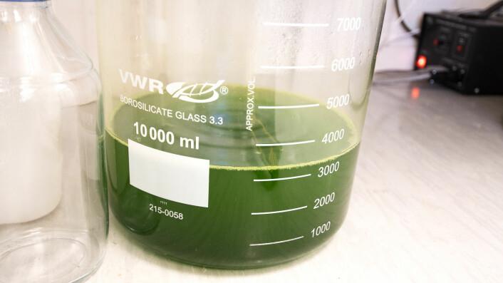 Slik ser algevatnet ut i laboratoriet på Ås. (Foto: Erling Fløistad)