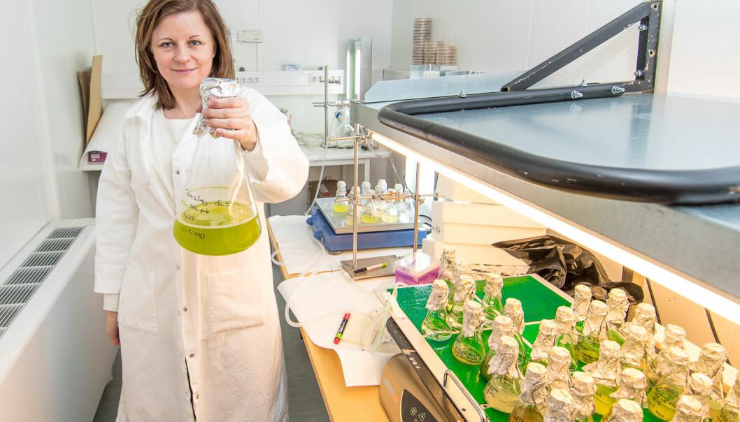 Algeforskar Kari Skjånes skal sjå nærare på potensialet for bruk av mikroalgar som ingrediens i mat, drikke og fiskefôr. (Foto: Erling Fløistad)