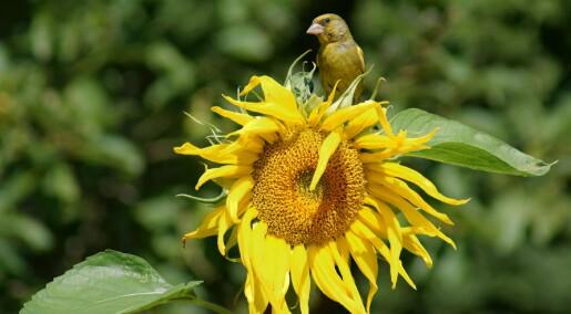 Solsikkefrø kan være skadelig for fuglenes sperm