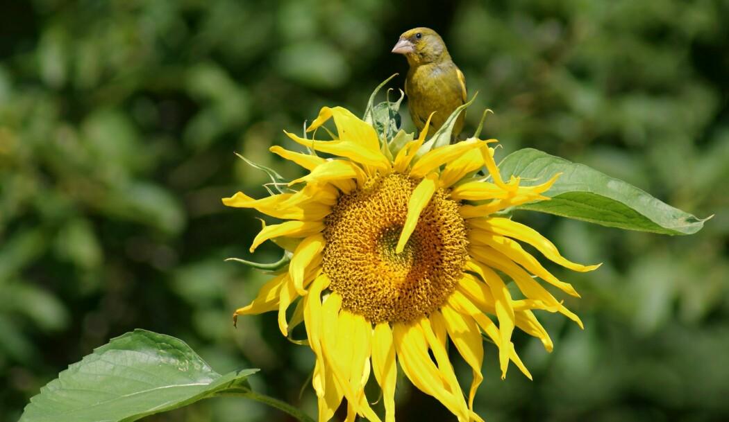 Herlig, herlig - men kanskje farlig å spise for mye solsikkefrø. I hvert fall for grønnfinken, som kan bli litt ivirg i matfatet. (Foto: Colourbox)