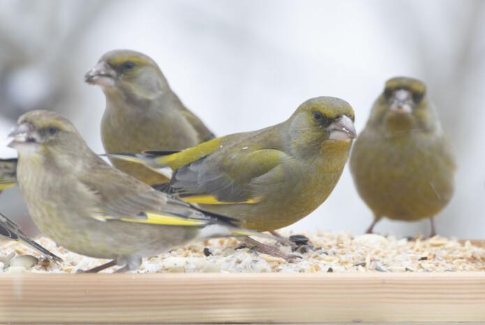 Grønnfinkene er olivengrønne med gule, grå og svarte innslag. De blir rundt 15 cm lange og lever i flokk. De finnes i store deler av Europa. (Foto: Bjørn Aksel Bjerke)