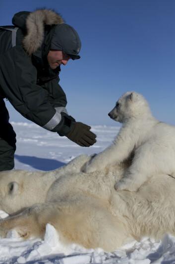 112 isbjørnbinner ble undersøkt for miljøgifter på Svalbard. Dette bildet er tatt i forbindelse med feltarbeidet. (Foto: Nick Cobbing / Norsk Polarinstitutt)