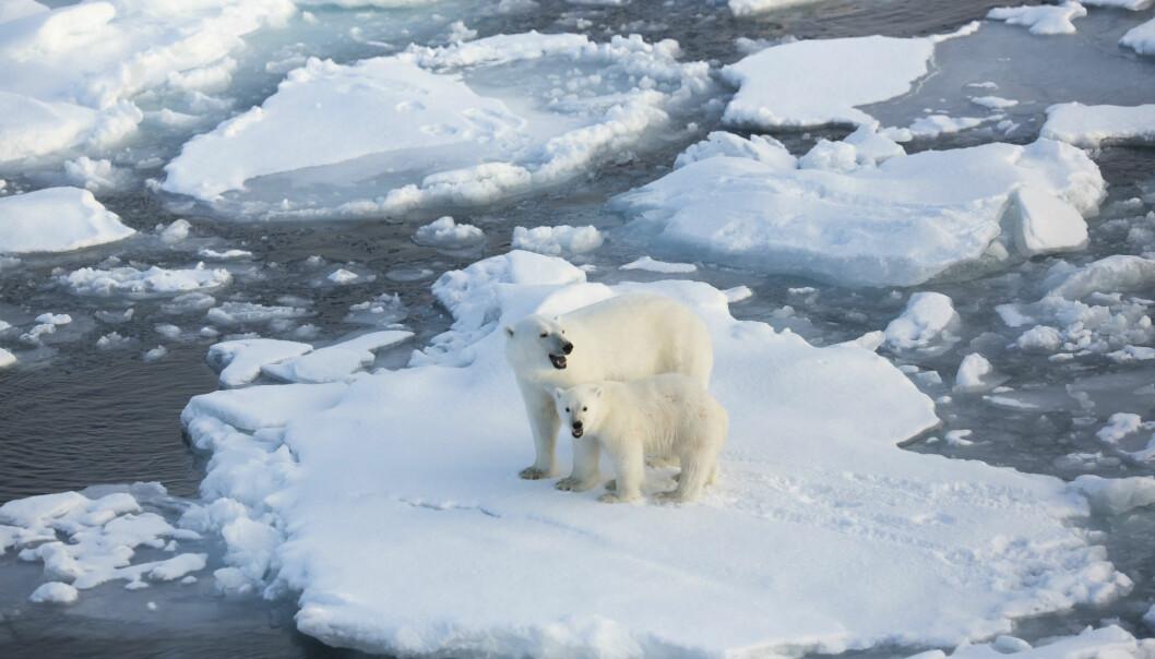 Lite eller mye havis er avgjørende for tykkelsen på isbjørn, som igjen gir utslag på nivåer av miljøgifter i kroppen. (Foto: Jon Aars / Norsk Polarinstitutt)