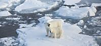 Mindre havis betyr mer miljøgifter i isbjørn