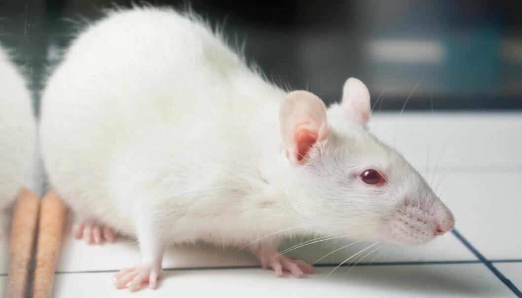 Nikotinavhengige rotter ble mer risikovillige enn andre rotter lenge etter at de var blitt avvent. Endringer i hjernens belønningssystem kan forklare hvorfor det er så vanskelig å slutte å røyke, ifølge forskerne.  (Foto: Shutterstock/NTB Scanpix)