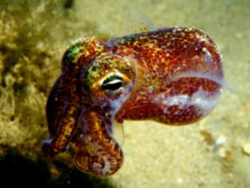 Blekkspruten Euprymna scolopes suger til seg bakterien Vibrio fischeri fra havet rundt Hawaii. Bakteriene kommuniserer med kjemiske stoffer, og når de oppdager at de har blitt mange nok, begynner de den energikrevende prosessen å lyse. Til gjengjeld får de mat av blekkspruten. (Foto: Jamie Foster)