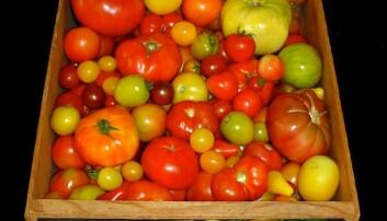 Forskere har prøvd å finne tilbake til den gode smaken i gamle tomater. (Foto: Harry Klee, University of Florida)