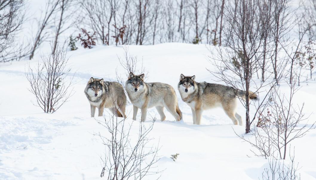 Et nytt internasjonalt forskningsprosjekt skal nå beregne bestandsstørrelser, overlevelse og reproduksjon hos norske og svenske rovviltbestander - særlig for bjørn, ulv og jerv.  (Foto: Shutterstock / NTB scanpix