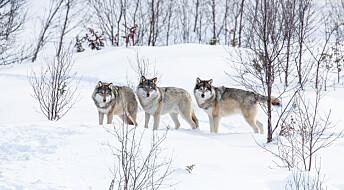 Skal gjøre det lettere å beregne rovdyr i Norge