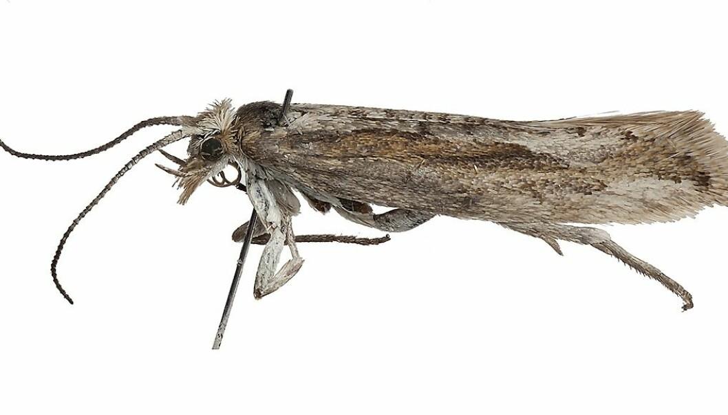 Møt Plutella polaris. – Det er ikke så mye som flyr og ligner sommerfugler på Svalbard, så du du fanger det du ser og håper at det er noe spennende. Men jeg var ikke sikker på at det var riktig art da jeg først fant den, sier Geir Søli, førsteamanuensis ved Naturhistorisk museum, UiO. (Foto: Karsten Sund, Naturhistorisk museum Universitetet i Oslo)