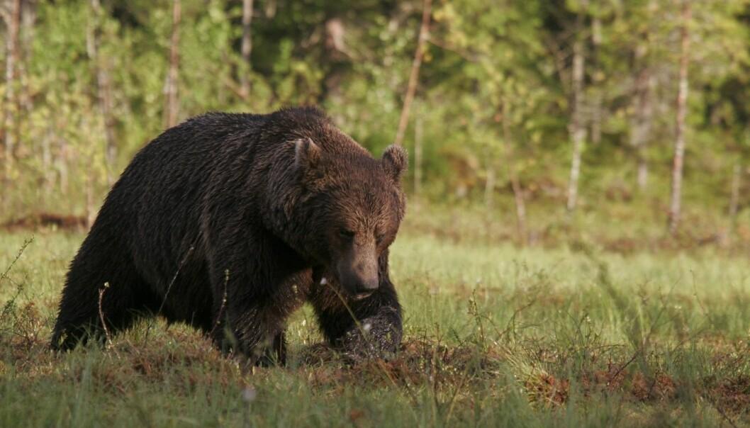 Forskere trodde lenge at det genetiske materialet fra brunbjørnene som levde i Norge fram til 1970-tallet var forsvunnet. Men nye undersøkelser viser at dagens brunbjørn bærer med seg spor fra forgjengerene sine.  (Foto: Alexander Kopatz)