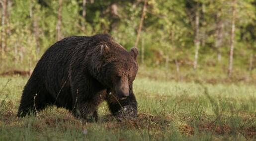 Den norske brunbjørnen var aldri død