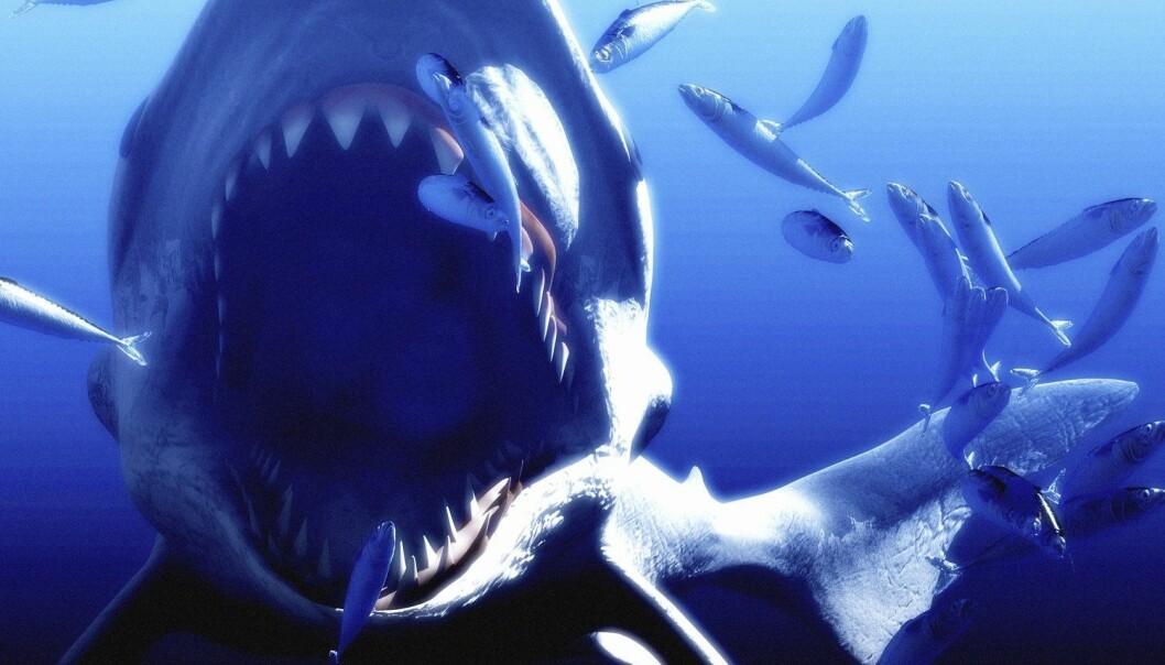 Den megastore haien levde i perioden fra 14 til 2,6 millioner år siden og var kan ha vært så stor som 16-18 meter lang. Til sammenligning kan en spekkhogger bli opptil ti meter. (Illustrasjon: Science Photo Library / NTB scanpix)