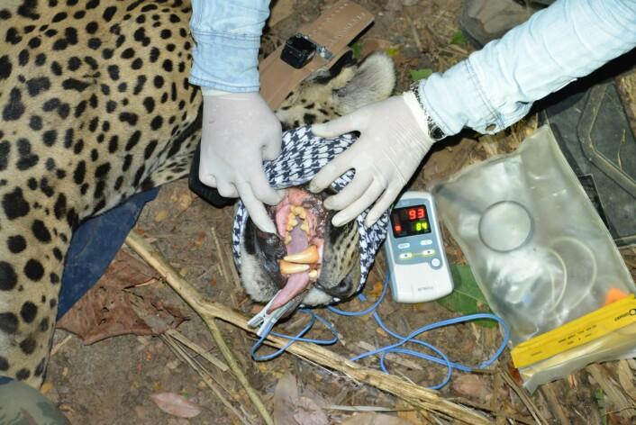 Her undersøkes tannkjøttet på en bedøvet jaguar. Klypen i tunga måler puls og oksygen i blodet. (Foto: Øystein Wiig)