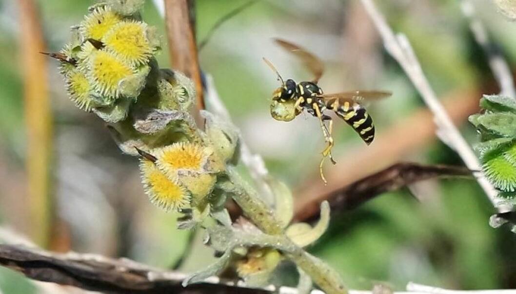En veps av arten <em>Polistes dominula</em> på vei tilbake til bolet med mat. (Foto: Tanya Pennell)