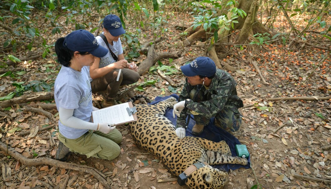 Brasilianske forskere undersøker en bedøvet Jaguar i Brasil. (Foto: Øystein Wiig)