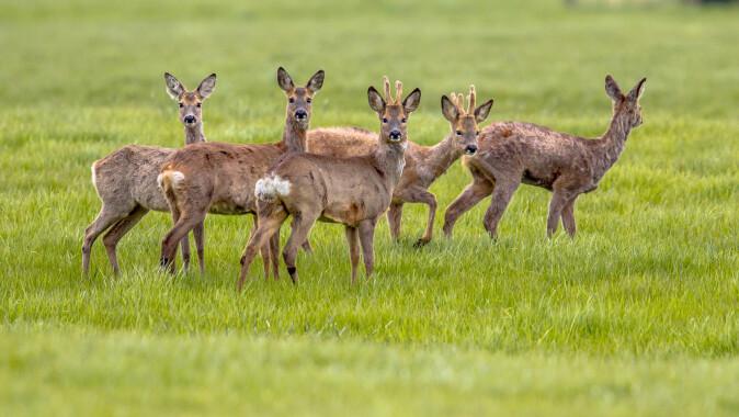 Søte er de, rådyrene, men de tar med seg flått når de er på farten. (Foto: Rudmer Zwerver / Shutterstock / NTB scanpix)