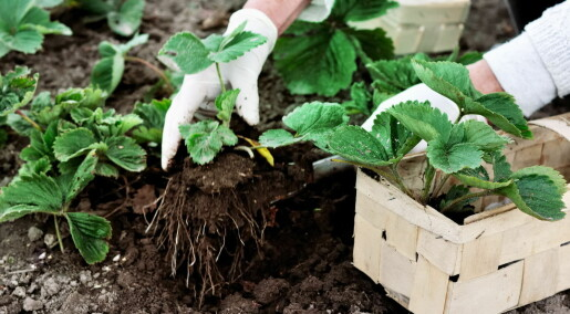 Ekstra kromosomer gir planter supervåpen