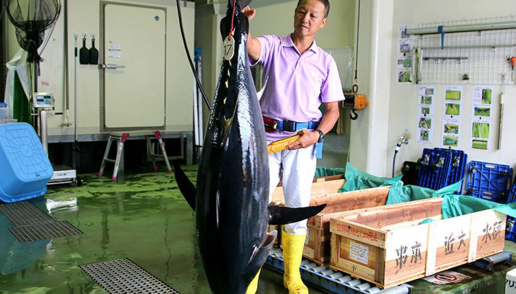 Den største tunfisken kan bli så stor som 70 til 100 kilo etter fireår. (Foto: Nancy Bazilchuck)