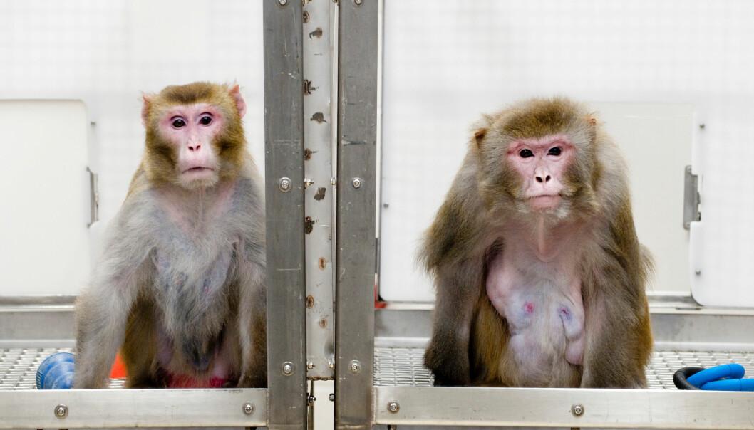 To av apene fra studien ved University of Wisconsin. Apen til venstre var på slankediett, mens den til høyre fikk spise så mye den ville. Bildet ble tatt i 2009, og begge dyra er nå døde av naturlige årsaker.  (Foto:  Jeff Miller/University of Wisconsin-Madison)
