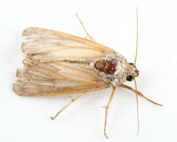 Sommerfuglen Spodoptera frugiperda. (Foto: Erling Fløistad)
