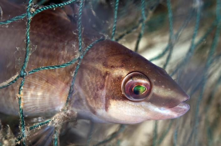 Lang i maska. Her en leppefisk av typen Bergnebb (Ctenolabrus rupestris) fanget i nettet på en gammel hummerteine. (Foto: Lill Haugen, NTB scanpix)