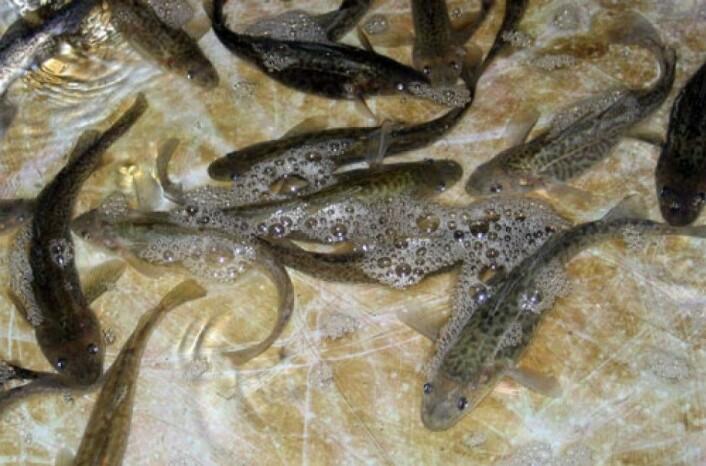 Den lille torskefisken Microgadus tomcod i et utklekkingsanlegg i New Jersey. En spesiell genvariant har oppstått hos bestanden i de forurensede Hudson River og Hackensack River som innebærer at giftstoffene ikke tas opp i fiskens stoffskifte. (Foto: Science/AAAS)