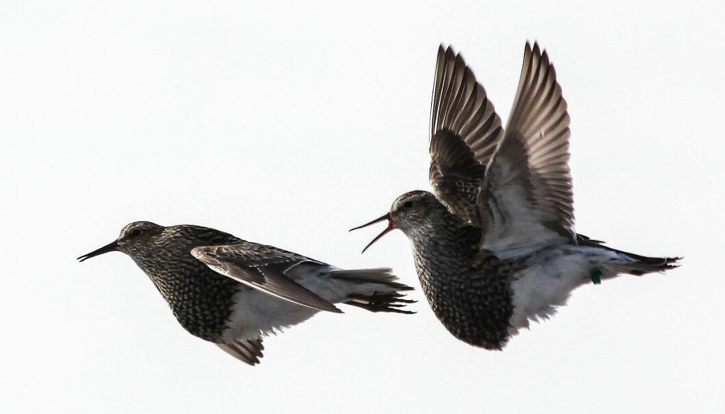 Kampen om hunnene skjer også i lufta hos de flygedyktige alaskasnipene. Her slåss to hanner. (Foto: Bart Kempenaers)