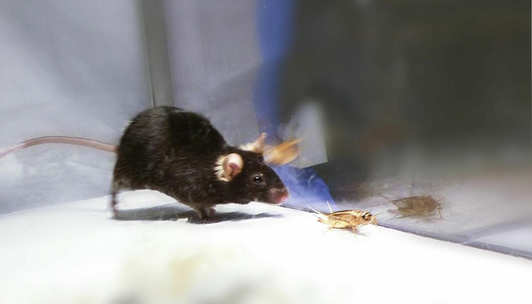 Når laserlyset var på, jaget musene alt som rørte seg. (Foto: Courtesy of Ivan de Araujo)