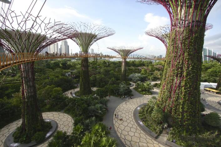 Et skogholt med såkalte supertrær i Singapore. «Gardens by the Bay» er en del av regjeringens strategi for å forandre byen. De trelignende tårnene er mellom 25 og 30 meter høye og er beplantet med blant annet orkidéer, slyngplanter og bregner. Supertrærne samler også opp regnvann til bruk for vanning og kjøling. (Foto: Jan, Creative Commons CC BY-SA 2.0)